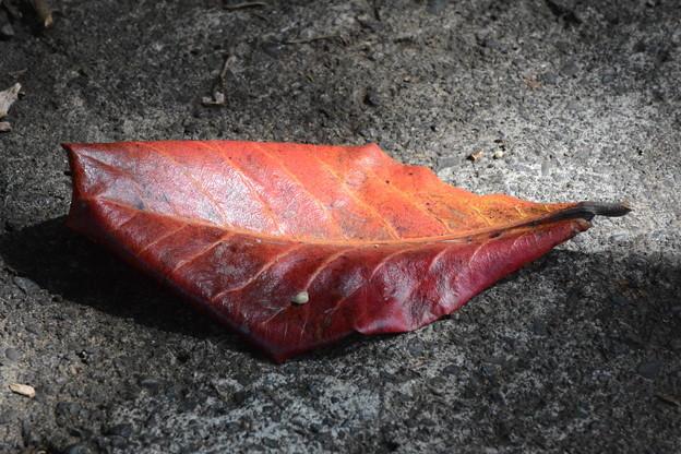 モモタマナの落葉(小笠原)