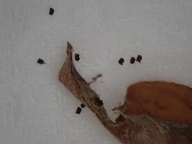 テツイロビロウドセセリ幼虫 (2)