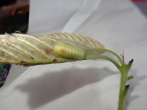 キリシマ幼虫 (1)