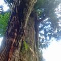 月ヶ瀬の大杉 (4)