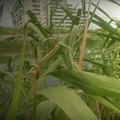 葦の造形物(新川) (6)