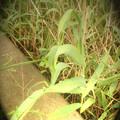 葦の造形物(新川) (8)