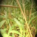 葦の造形物(新川) (9)