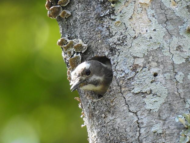 コゲラ幼鳥