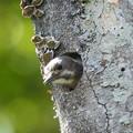Photos: コゲラ幼鳥