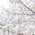 Photos: sakura