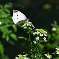 三頭目の蝶