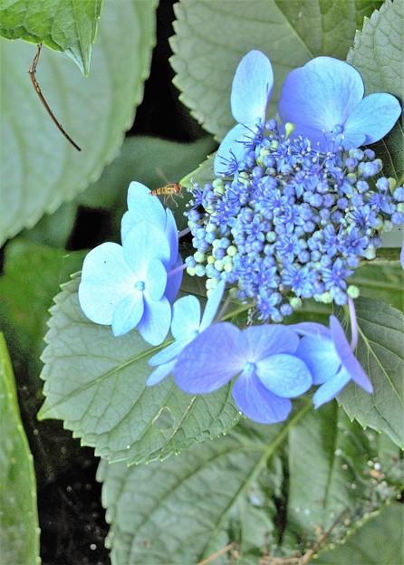 紫陽花とハナアブ