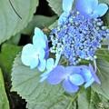 写真: 紫陽花とハナアブ