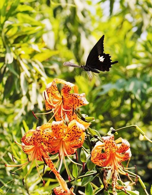写真: 蝶か百合か