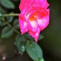 写真: 小さな薔薇