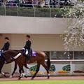 パドックの桜と誘導馬