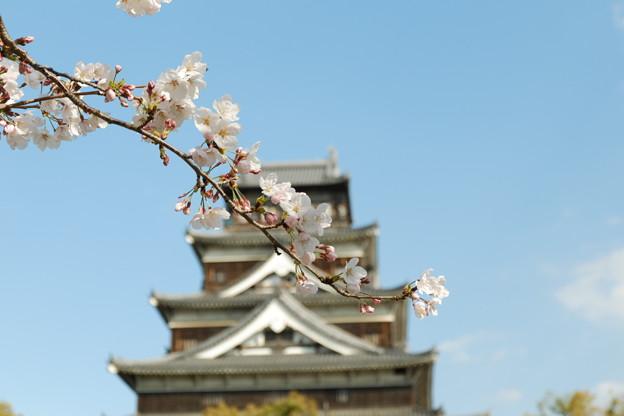 *広島城と桜*