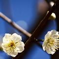 写真: 今年の白梅