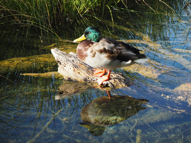 クロアチアの真鴨 Duck on fallen tree in the Turquoise water