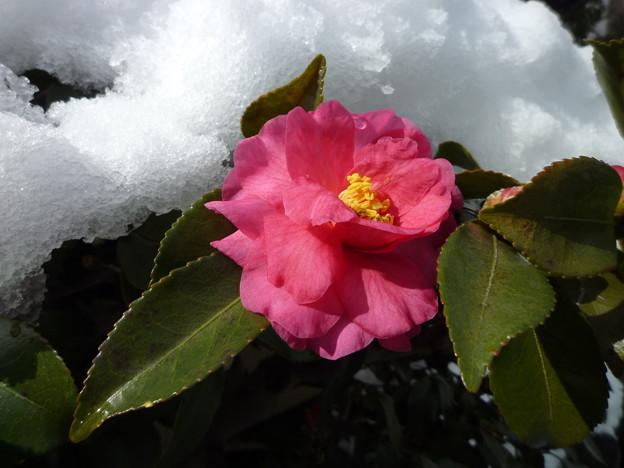 *山茶花や埋まりかけし京の雪 Sasanquas in the snow
