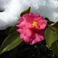 写真: *山茶花や埋まりかけし京の雪 Sasanquas in the snow