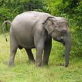 「カ・イ・カ・ン」~セイロン象  Urinating Sri Lankan Elephant