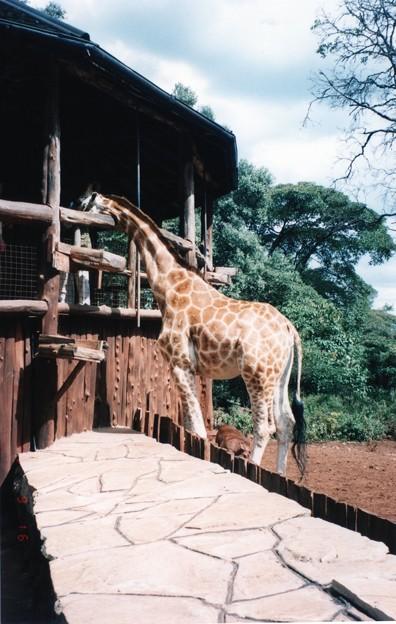 おやじ、一番搾り! Giraffe Center,Nairobi