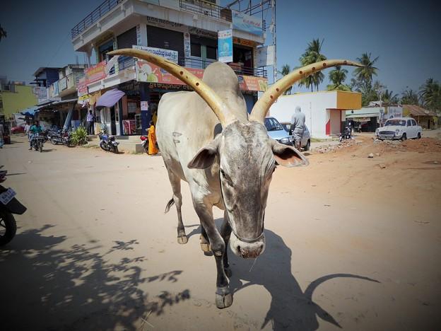 APP通信速報「インドの瘤牛に日本人たん瘤」A holy zebu