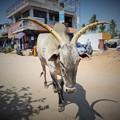 写真: APP通信速報「インドの瘤牛に日本人たん瘤」A holy zebu