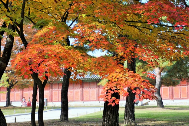 昌慶宮の紅葉~韓国  Changgyeong Palace Autumn Leaves