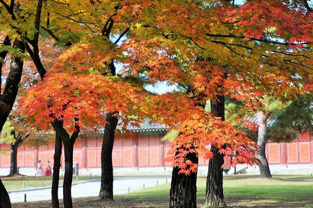 昌慶宮の紅葉~韓国  Changgyeong Palace Autumn Leaves