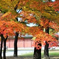 写真: 昌慶宮の紅葉~韓国  Changgyeong Palace Autumn Leaves