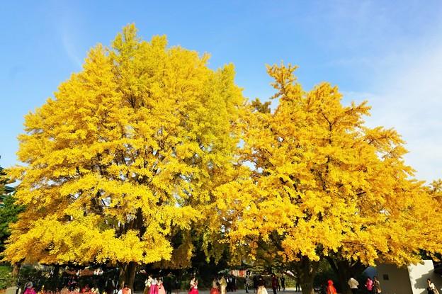 景福宮の大銀杏~韓国 Gyeongbokgung Ginkgo trees