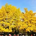 写真: 景福宮の大銀杏~韓国 Gyeongbokgung Ginkgo trees