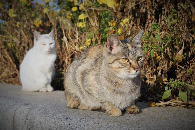 写真: 同床異夢~中国 Blooming Mums & Cats