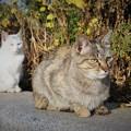 Photos: 同床異夢~中国 Blooming Mums & Cats