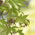 写真: 春のモミジ