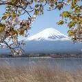 写真: 桜と富士山