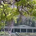 写真: 植物園の藤