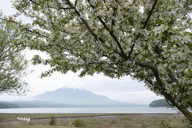 ウツギと富士山