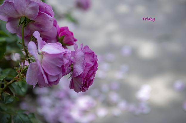 散りゆくバラ
