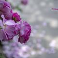 写真: 散りゆくバラ