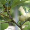 写真: 梨の実