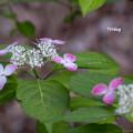 写真: 山アジサイ