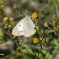 写真: 白い蝶