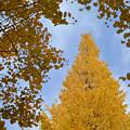 写真: 銀杏の木