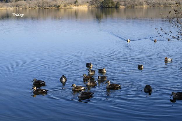 田貫湖の水鳥