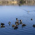 写真: 田貫湖の水鳥