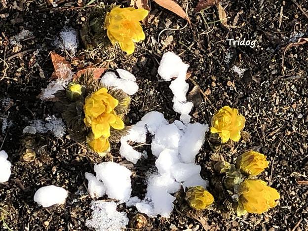 残雪と福寿草