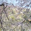 Photos: 桜の額縁