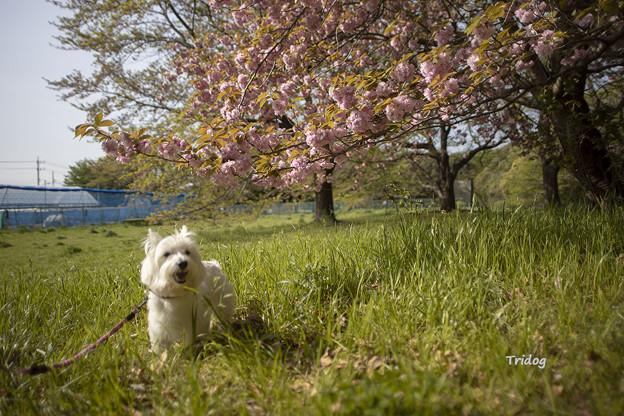 八重桜の下を歩く