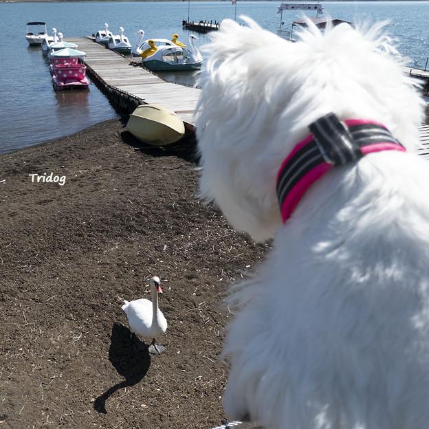 白鳥を観察