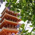 Photos: 五重塔と紫陽花