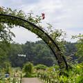 Photos: 真夏のバラ園